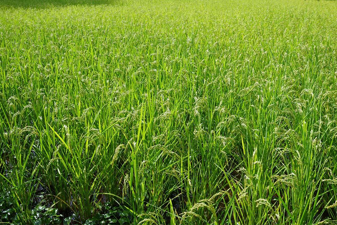 米作り(稲)